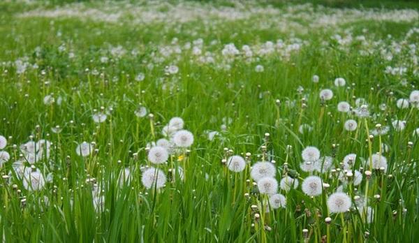 cánh đồng hoa bồ công anh